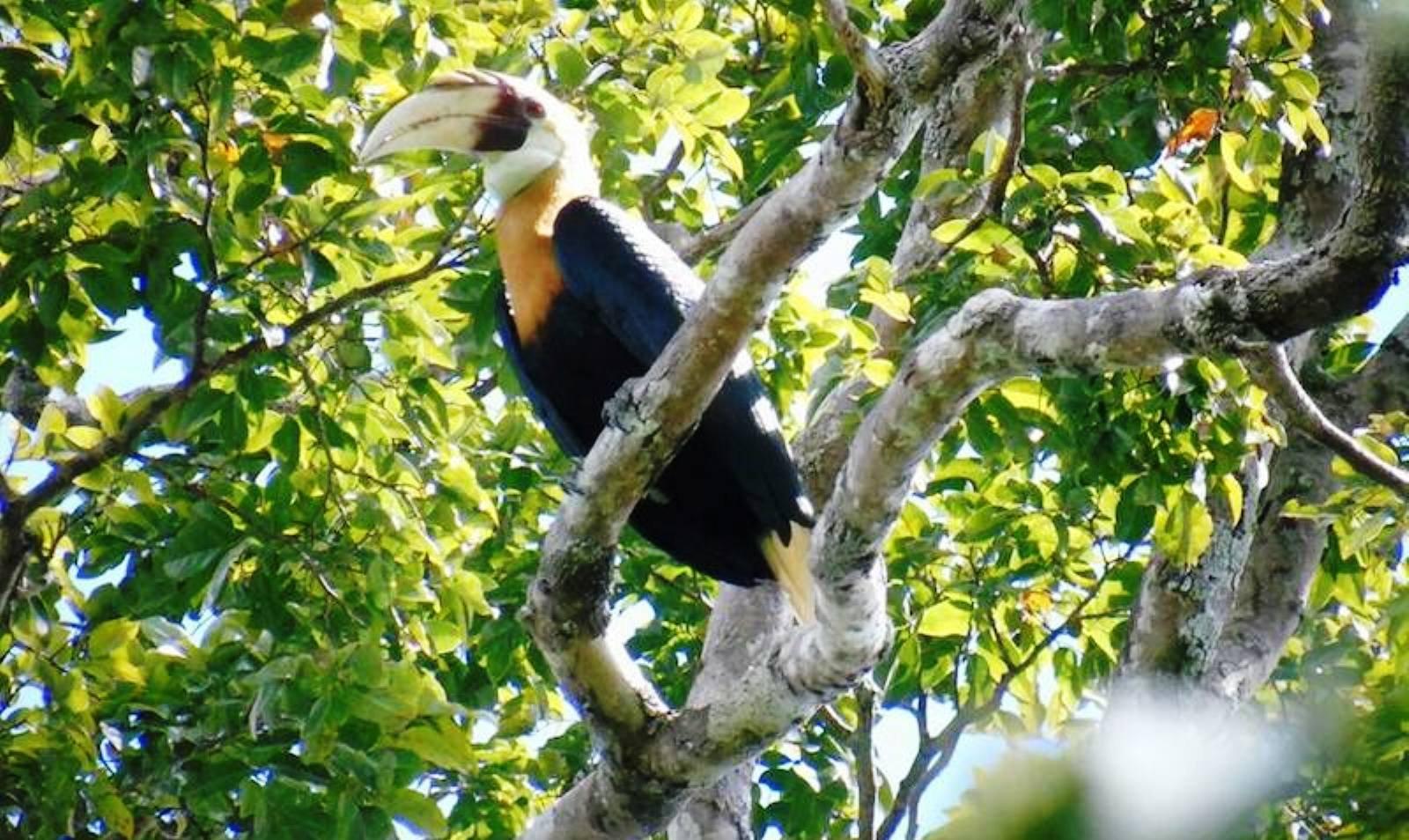 Klasof Hornbill