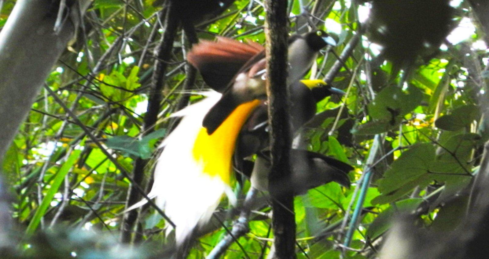 Klasof Lesser bird of paradise