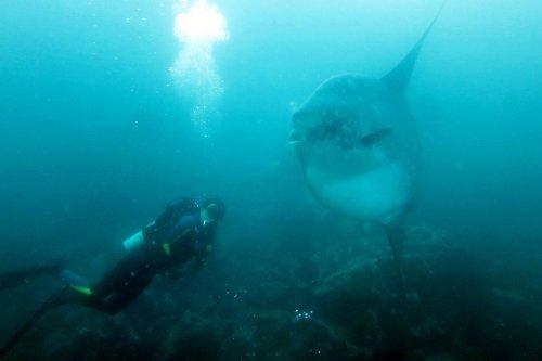Duiken Bali Mola Mola